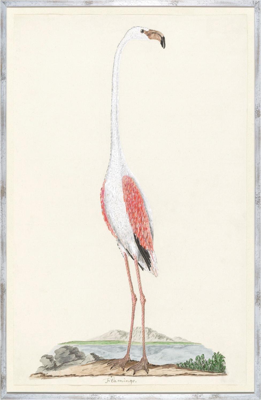 Gordons Flamingo Circa 1777