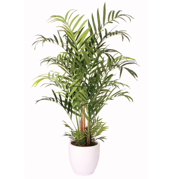 Double Kentia Palm Tree