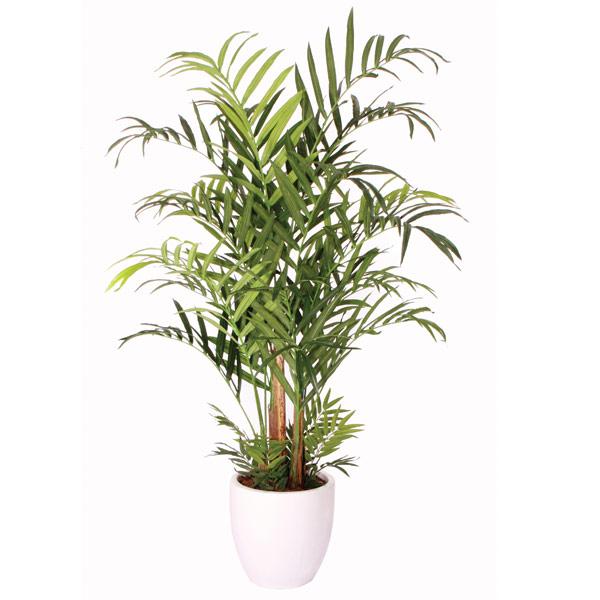 Double Kentia Palm Tree