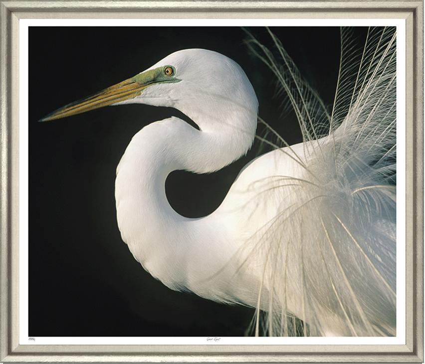 """Great Egret"""