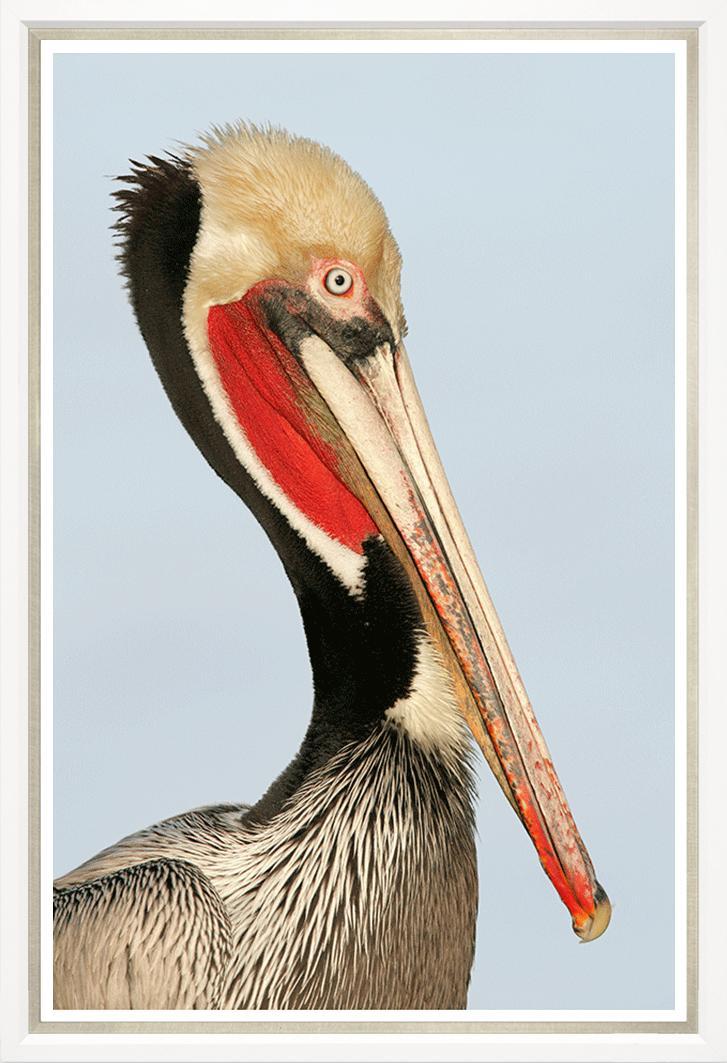 """""""Colonial Pelican"""""""