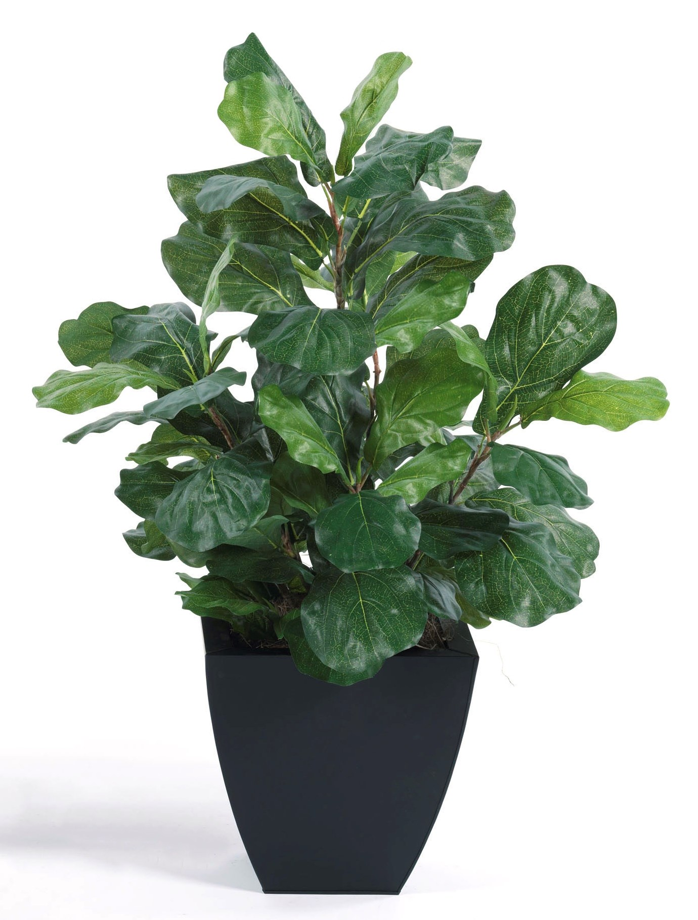 3′ Tall Fig Floor Plant