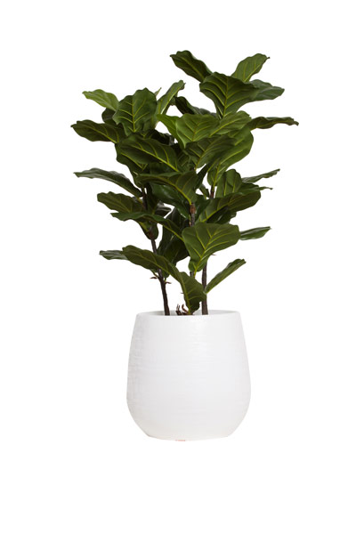 Fiddle Fig Bush-$546.00