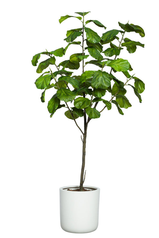 Fiddle Fig Tree-$1,456.00